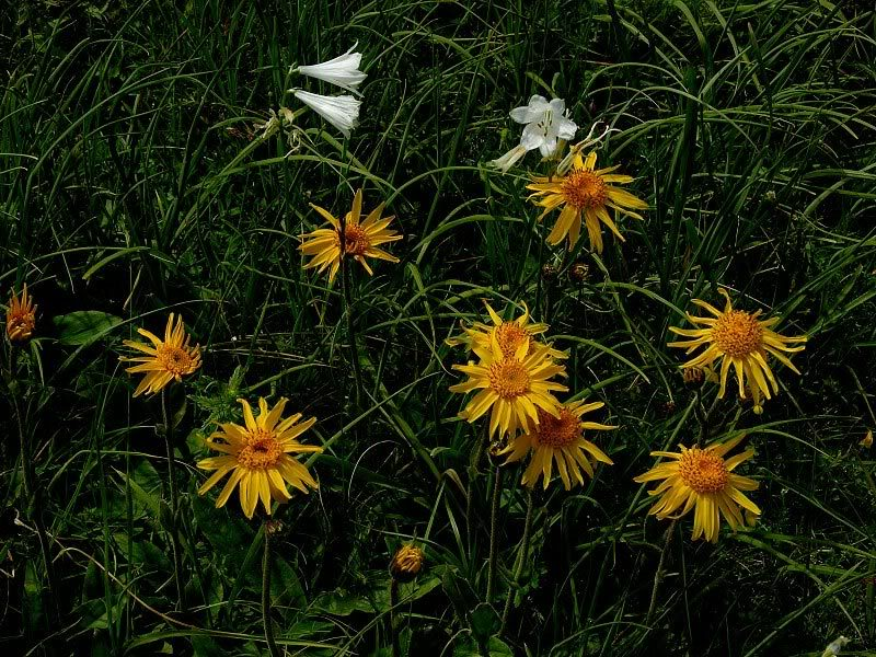 How daisies can help treat sports injuries
