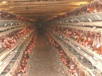 FDA confirm cancer-causing poison found in chicken