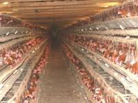 FDA confirm cancer-causing poison found in chicken