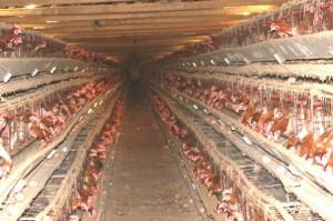 fda chicken