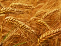 Wheat on the verge of destruction by a fungal disease
