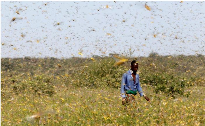 African locusts